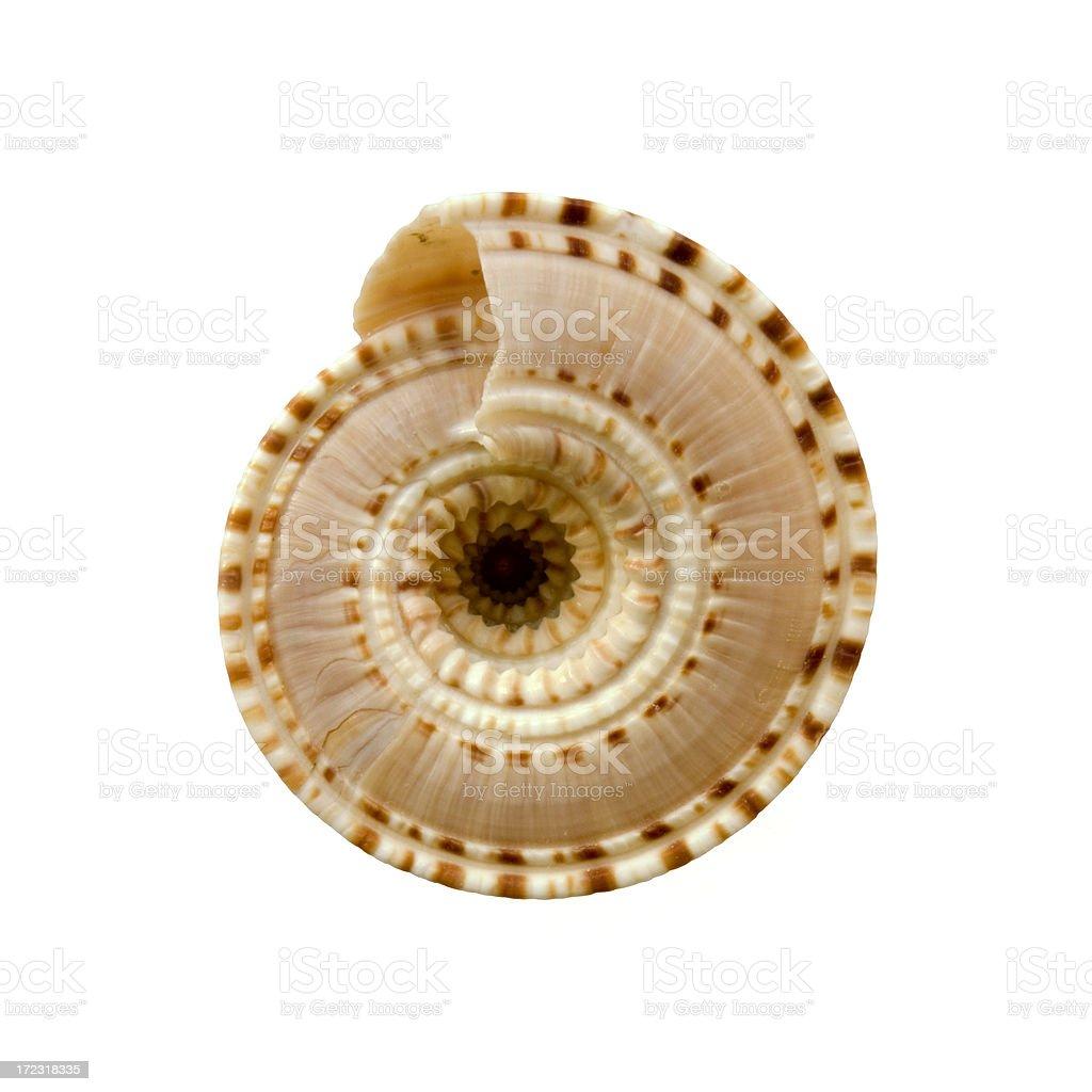 Sundial sea shell stock photo