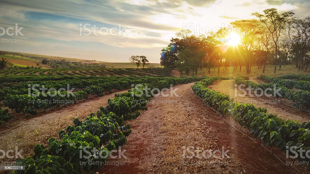 Sundown on the coffee plantation landscape stock photo