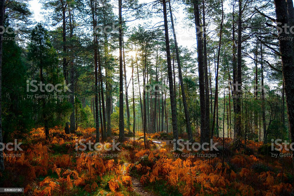 Sunfire in the Forest stock photo