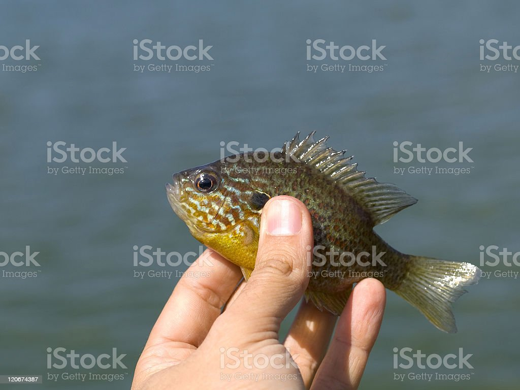 Sunfish catched stock photo