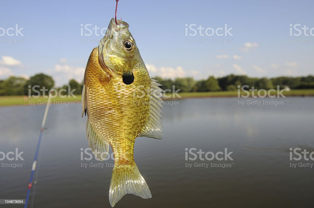 Sunfish caught in a farm pond stock photo