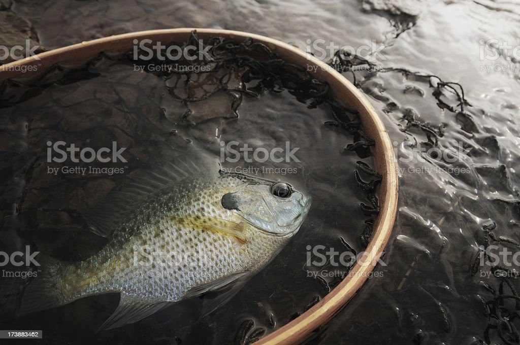 Sunfish in a net royalty-free stock photo