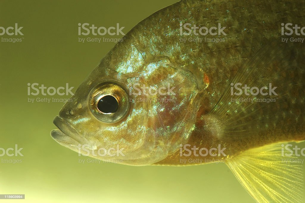 Sunfish in aquarium stock photo
