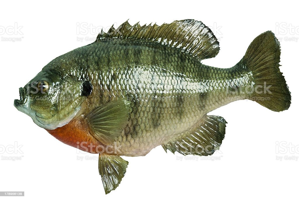 Sunfish isolated on white royalty-free stock photo