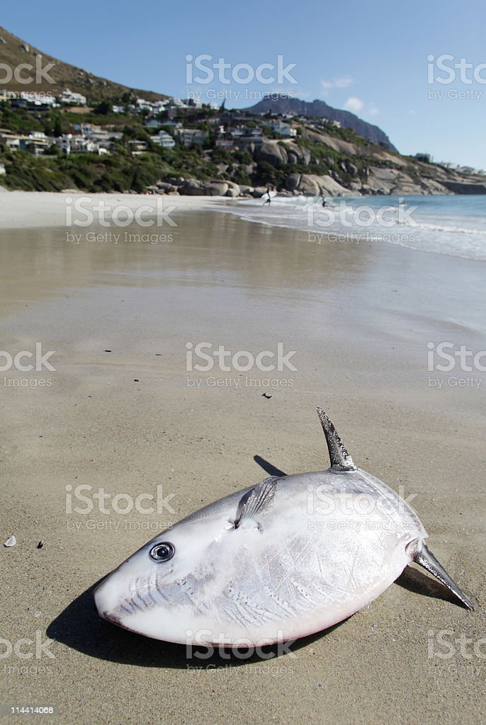 Sunfish on beach royalty-free stock photo