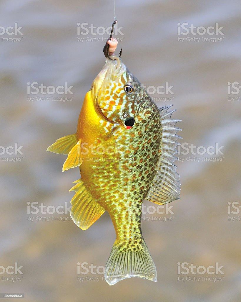 Sunfish On  Hook royalty-free stock photo