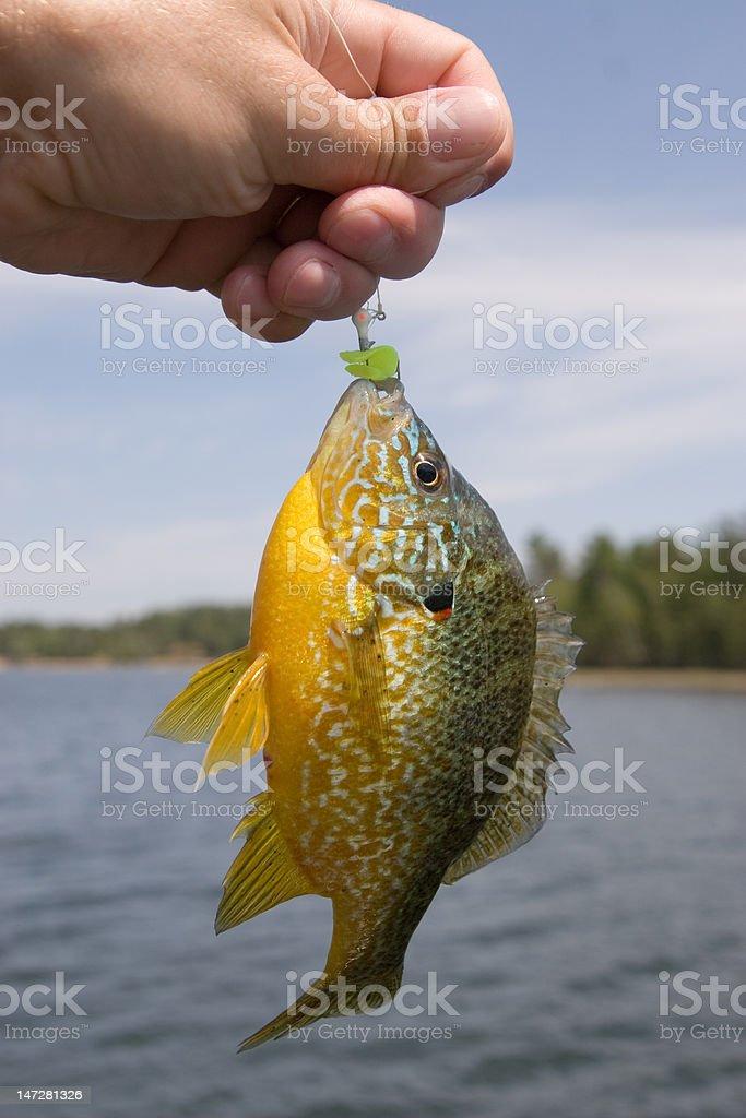 Sunfish on jig royalty-free stock photo