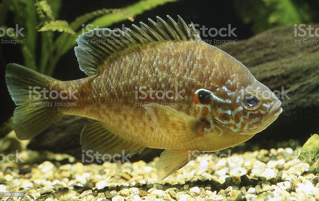 Sunfish (Lepomis gibbosus) stock photo