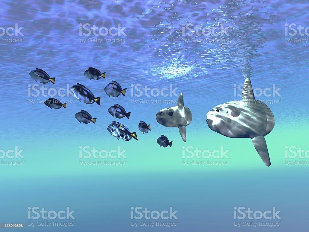 Sunfish royalty-free stock photo