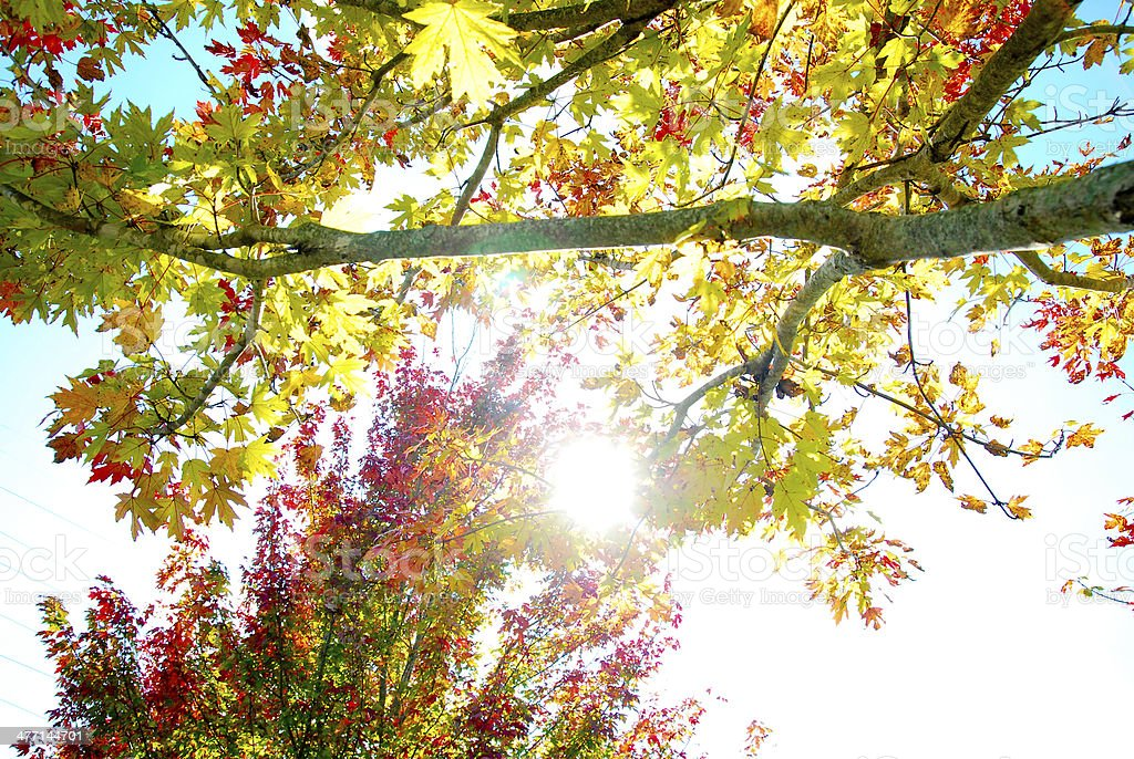Sunflare through autumn leaves stock photo