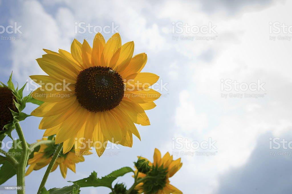 sunflowe royalty-free stock photo