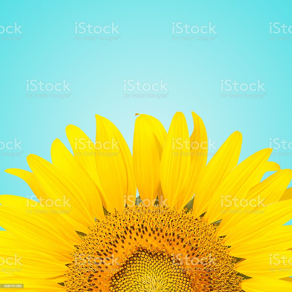 sunflowe stock photo