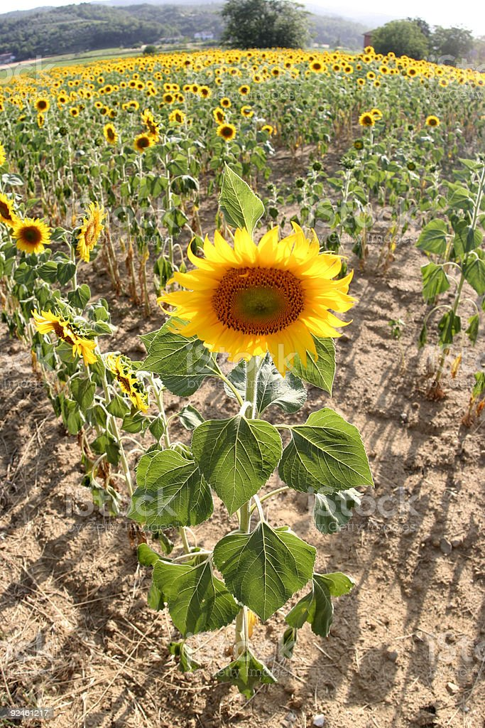 sunflower 04 royalty-free stock photo
