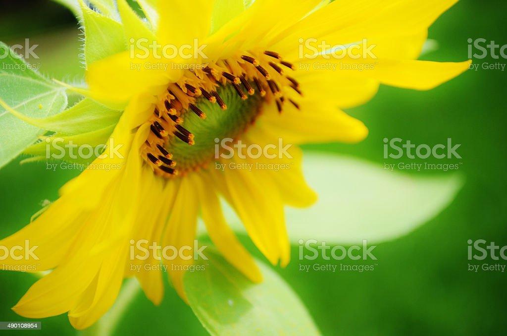 Sunflower 1 stock photo