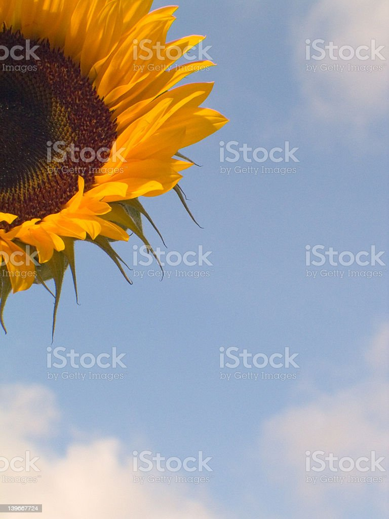 Sunflower 2 royalty-free stock photo