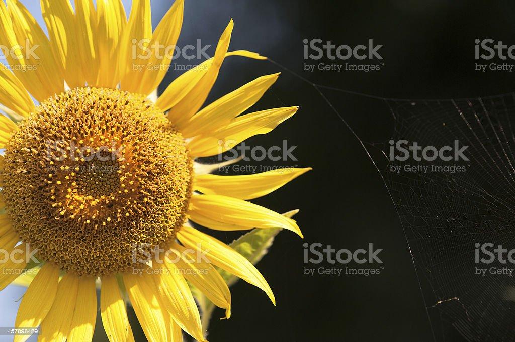 Słonecznik 3 zbiór zdjęć royalty-free