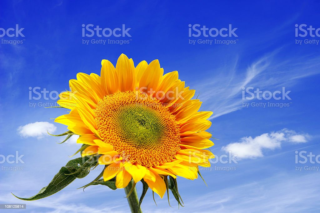 Sunflower Against Blue Sky royalty-free stock photo