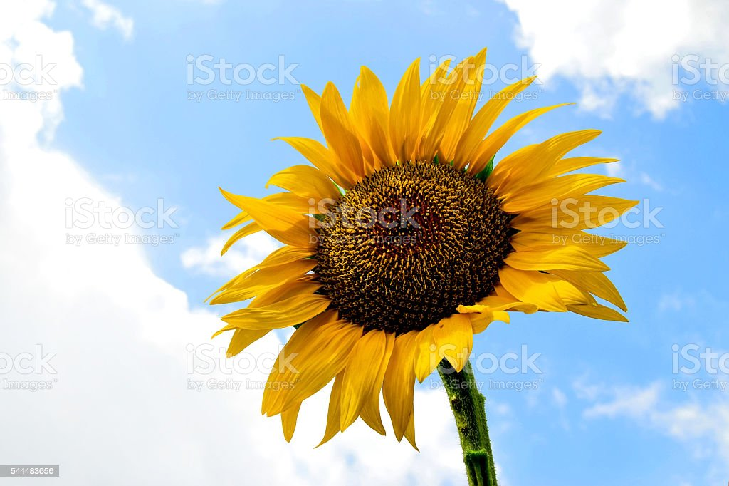Sunflower against blue sky stock photo