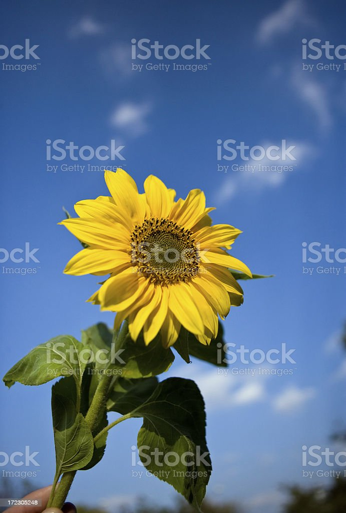Sunflower against sunny blue summer sky with clouds. stock photo