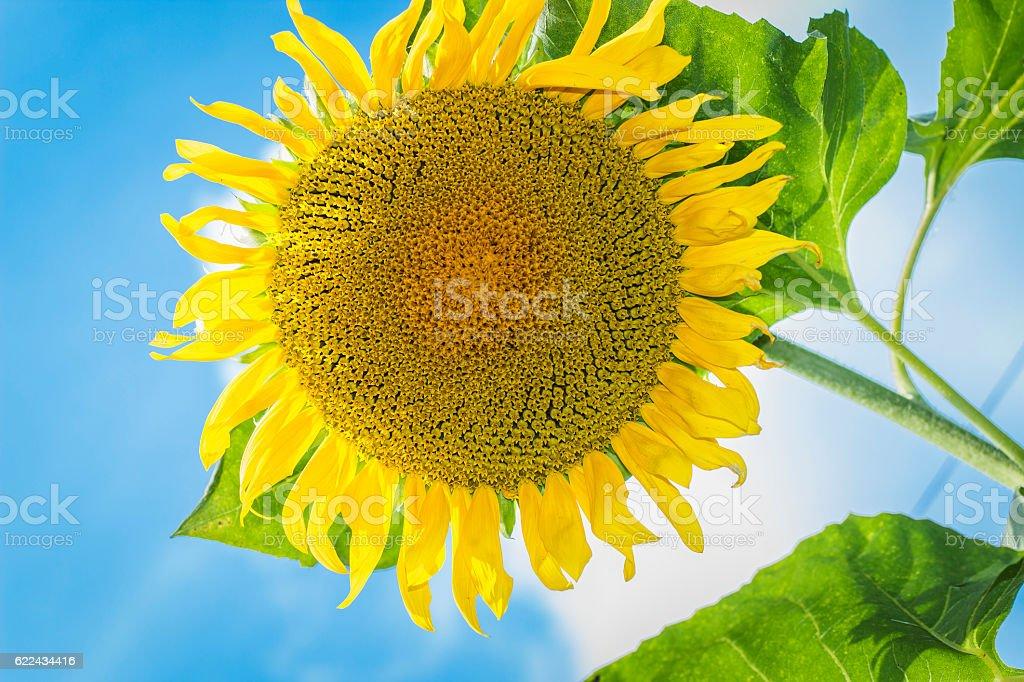 Sunflower against the blue sky. bottom view stock photo