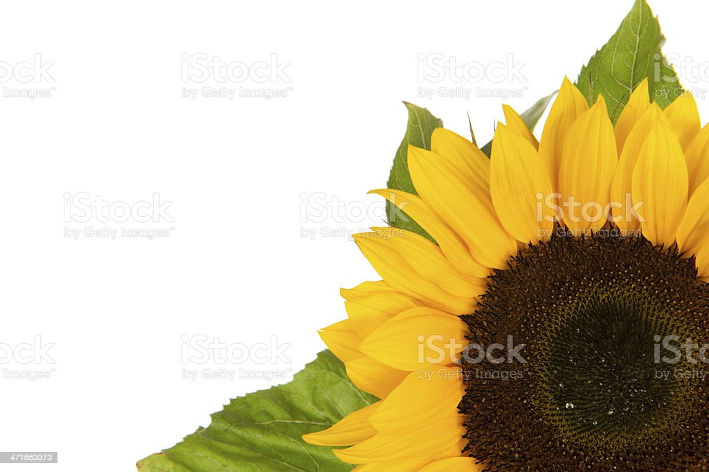 Sunflower, alias Helianthus annuus, in corner royalty-free stock photo