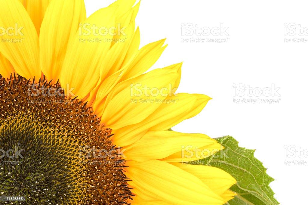 Sunflower, alias Helianthus annuus, in corner royalty-free stock photo