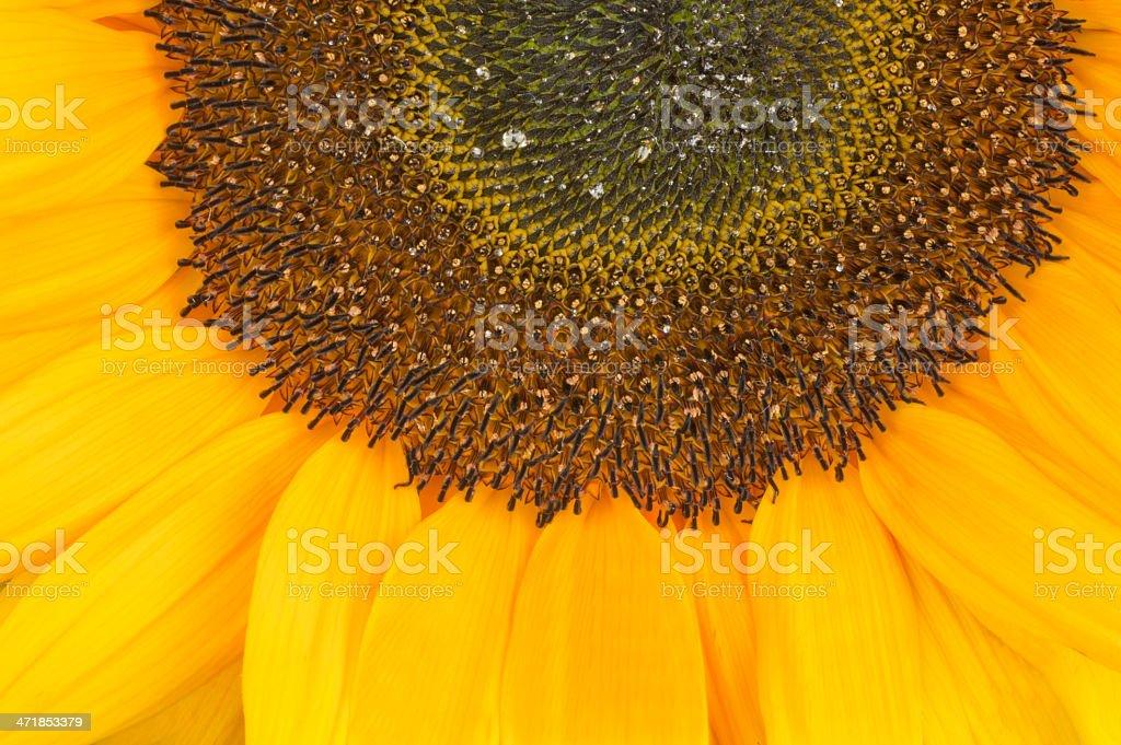 Sunflower, alias Helianthus annuus, sliced halfway royalty-free stock photo