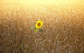 sunflower among the spikelets of wheat