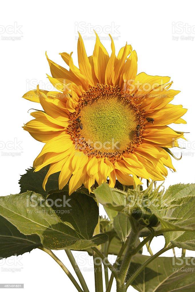 Sunflower and bee 1 stock photo