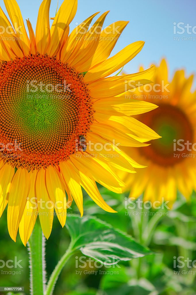 Sunflower and bee on green field (landscape) stock photo