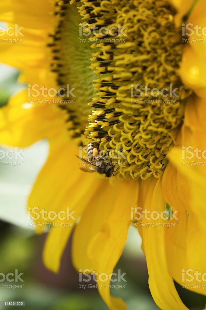 Sunflower and Bee stock photo