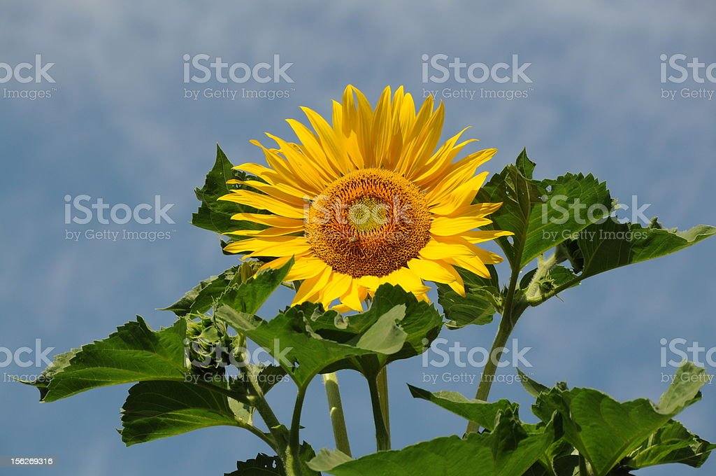 Sunflower and blue sky with clouds royalty-free stock photo