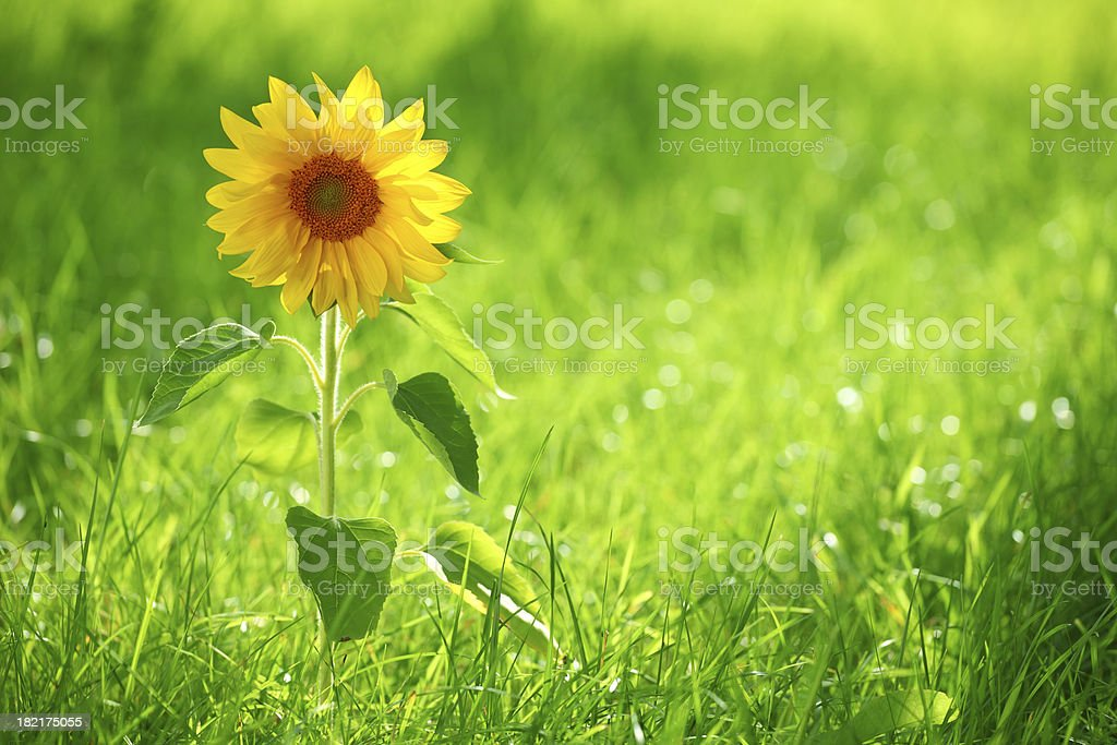 Sunflower and grass stock photo