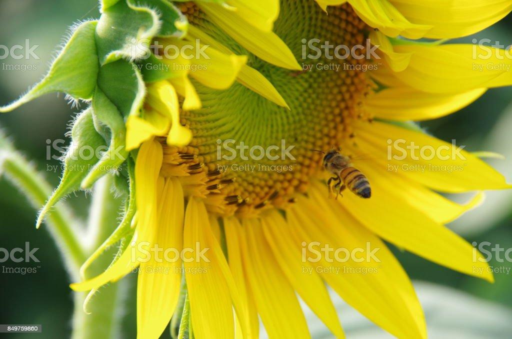 Sunflower and Honeybee stock photo