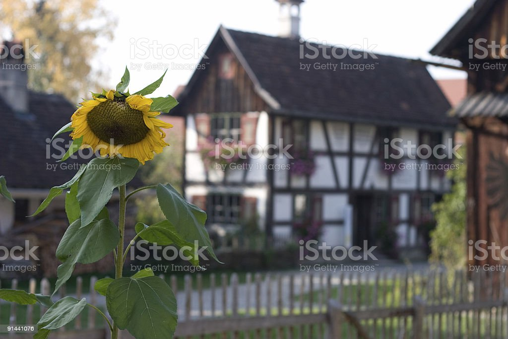 Sunflower and old farm royalty-free stock photo