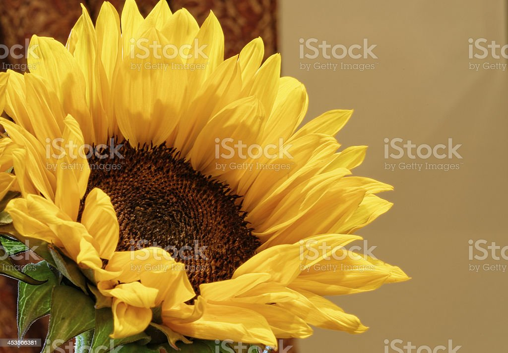 Sunflower and Rain Drops stock photo