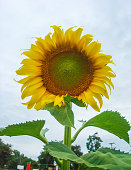 Sunflower and sky are small field hill tribe