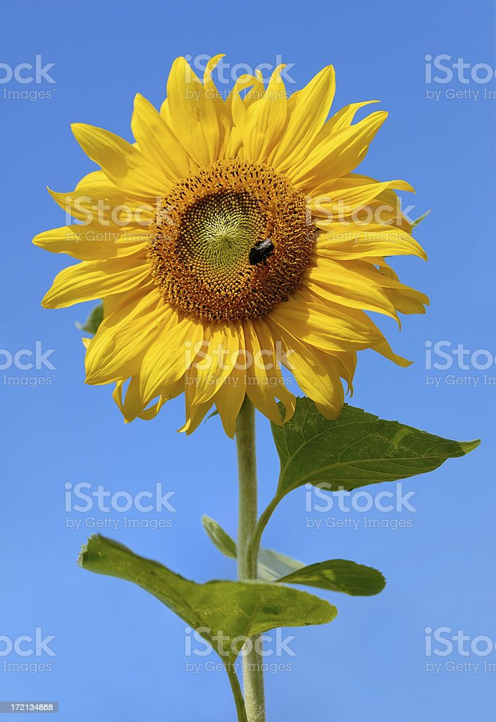 Sunflower and the blue sky royalty-free stock photo