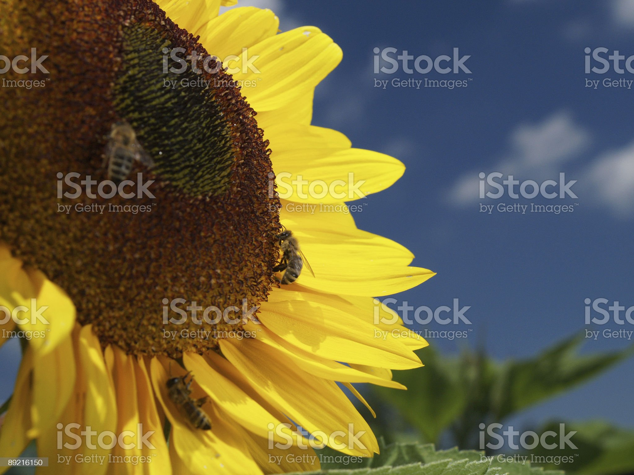 Sunflower and three bees royalty-free stock photo
