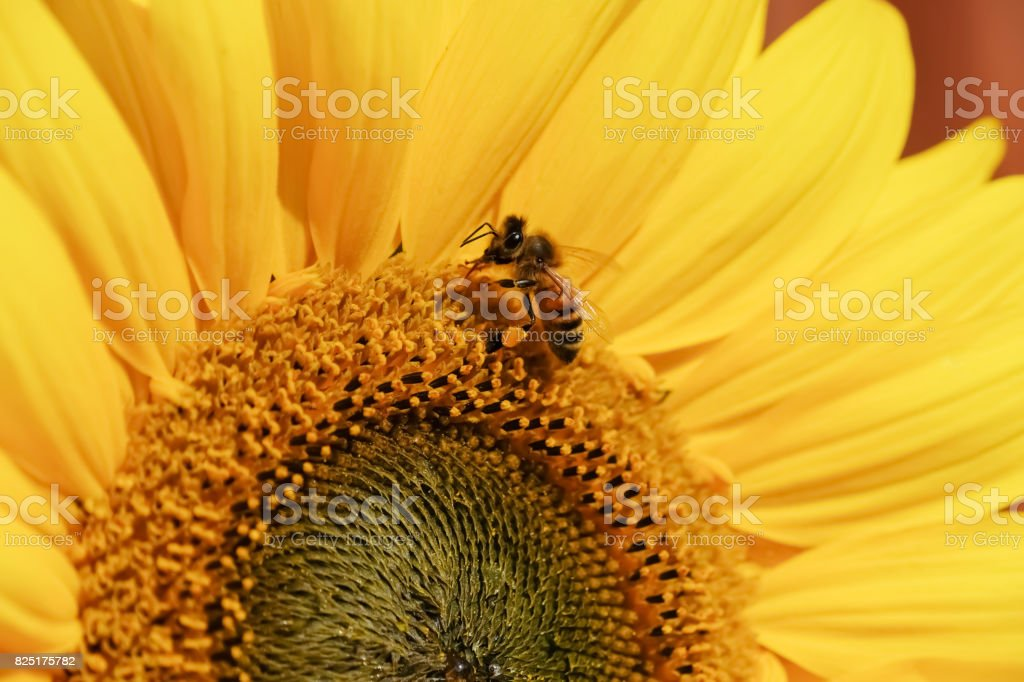 Sunflower and Wasp stock photo