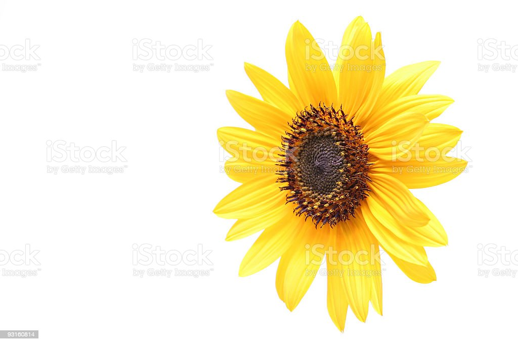 sunflower angled over white royalty-free stock photo