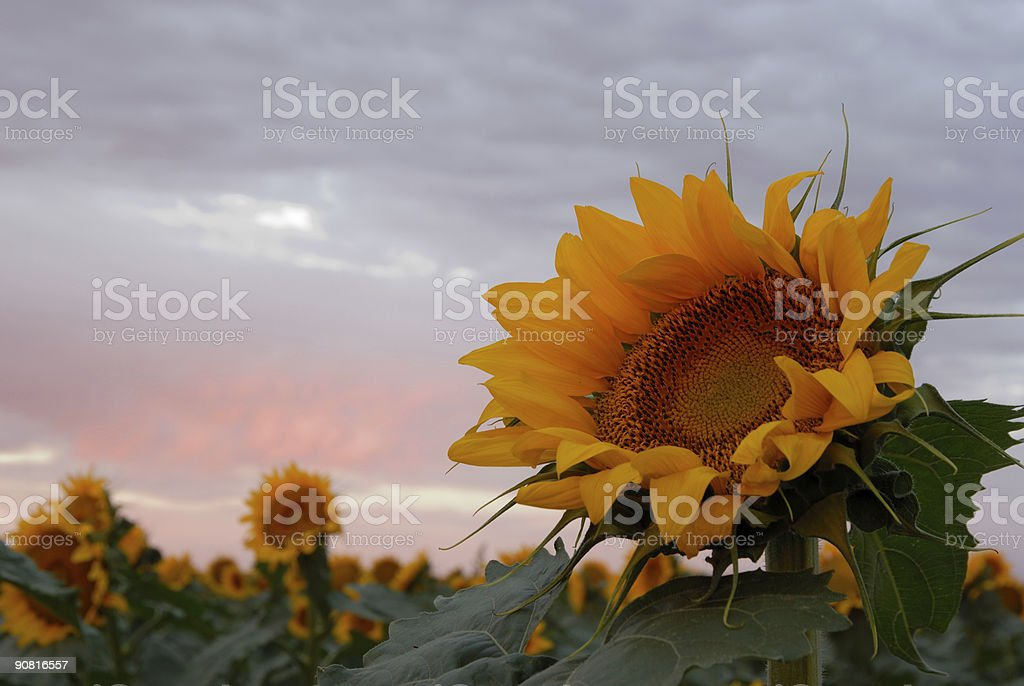 sunflower at dawn royalty-free stock photo