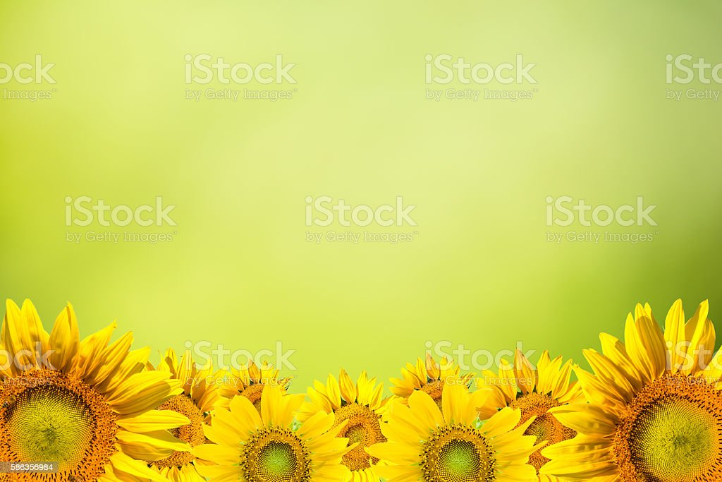 sunflower background pictures images and stock photos