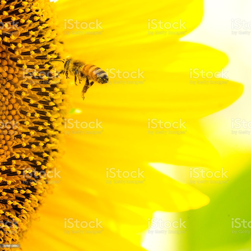 Sunflower Bee stock photo