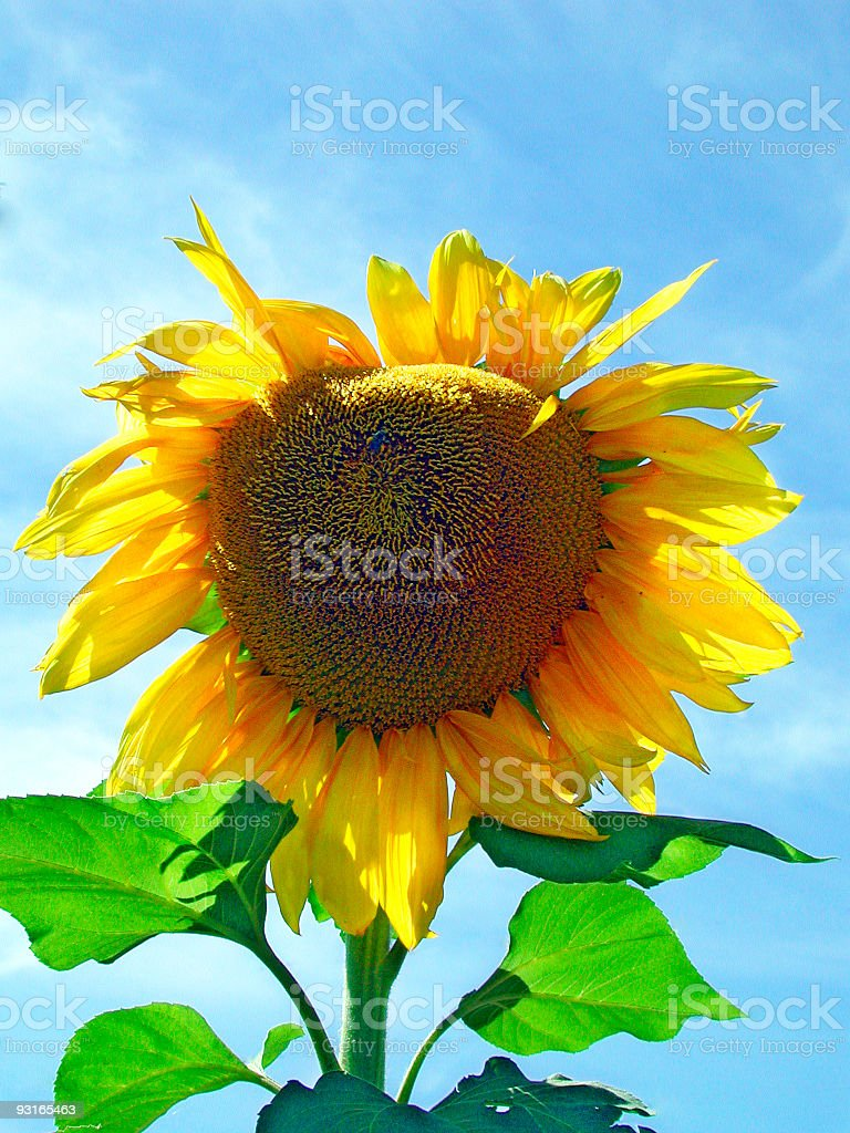 Sunflower - BIG royalty-free stock photo