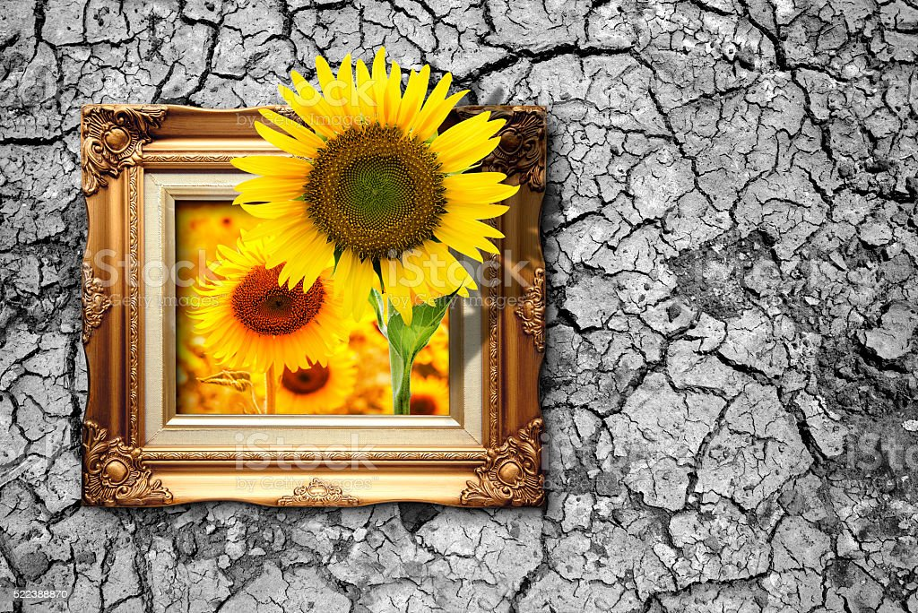 Sunflower blooming from picture frame on dry ground Nature Conse stock photo
