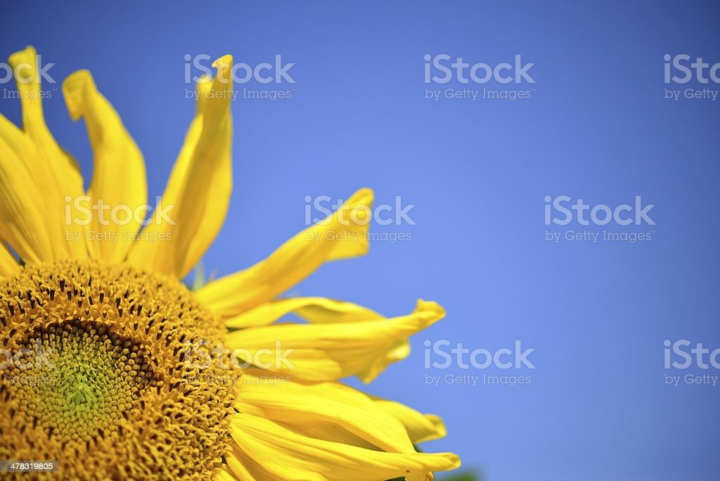sunflower blooming royalty-free stock photo