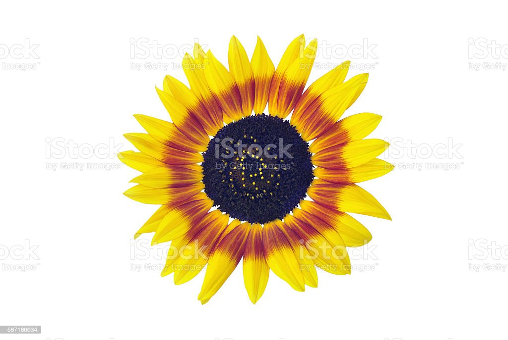 Sunflower blossom, isolated on white stock photo