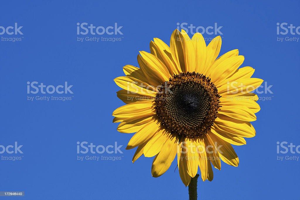 sunflower blue stock photo