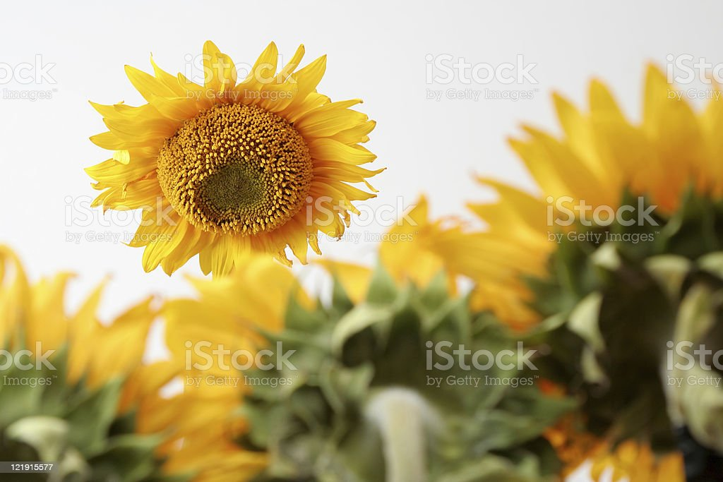 Sunflower boss royalty-free stock photo